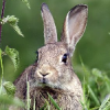 Брюховецкий кролик